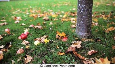 apples fallen under autumn tree - season, nature and...