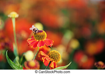 Honey bee on red flower.