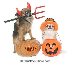 halloween pumpkin and chihuahuas in front of white...