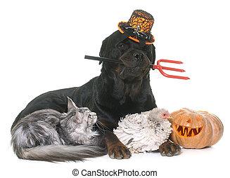 pet and pumpkin of halloween - pet and halloween pumpkin in...