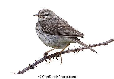 Berthelots pipit, Anthus berthelotii maderensis, single bird...