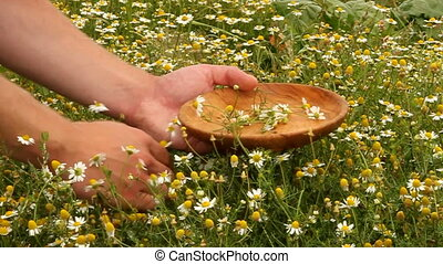 collecting camomile in summer
