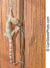 Gecko walking over a piece of wood - Details of a gecko...