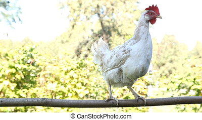 Young white pullet hen on the perch
