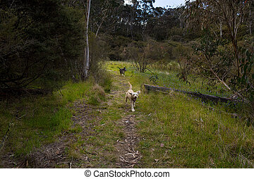 Happy Dogs Running on Forest Path - Two happy dogs running...