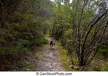 Happy Dog Running on Forest Path - A happy dog running on...