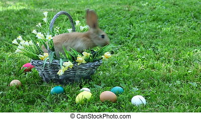 Little rabbit sitting at the basket and washing his face