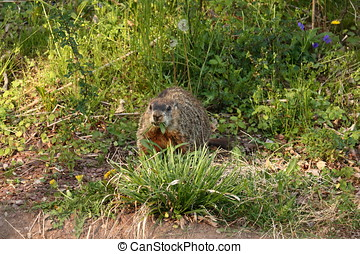 Woodchuck Snack - A wood chuck, also known as a ground hog...