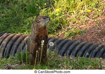 Woodchuck Side View - A wood chuck, also known as a ground...