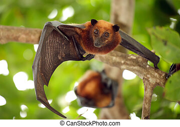 flying fox bat looking at camera, tioman island, malaysia