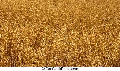 oat field - ripe oat field in summer