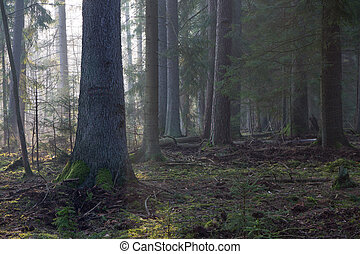 Coniferous stand of Bialowieza Forest in morning -...