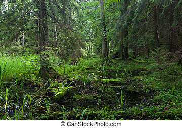 Rich riparian mixed stand of Bialowieza Forest - Rich...