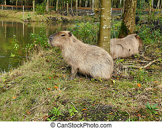 Two capybaras close to a pond in petting zoo outdoors