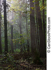 Summertime misty morning in forest - Summertime misty...