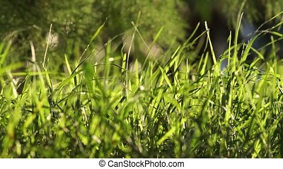 Long uncut green grass blowing in the wind light background