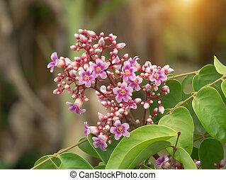 Star fruit flower. - Star fruit flower on tree.