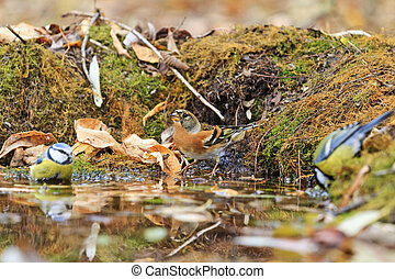 Two different types of birds in the autumn watering,birds...