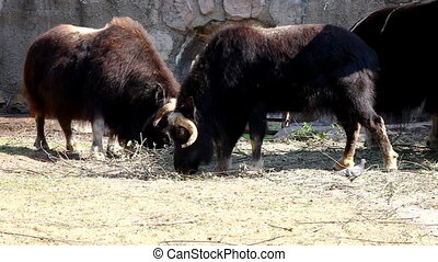 Musk ox walk in zoo