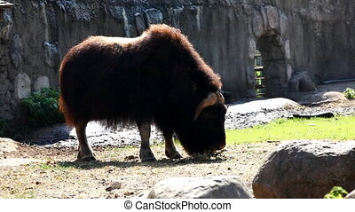 Musk ox feed in zoo - Ovibos moscha