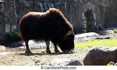 Musk ox feed in zoo - Ovibos moscha