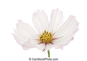 cosmos - Studio Shot of Mauve and White Colored Cosmos...