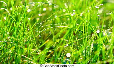 Grass with Dew Drops at Sunrise. - Tracking Shot of Grass...