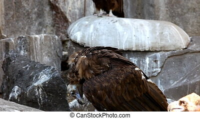 Couple of Black Vulture sit on rock