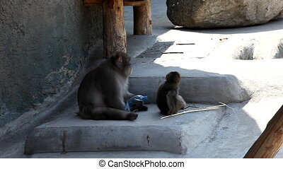 Monkey sit in shadow - macaque sit in shadow