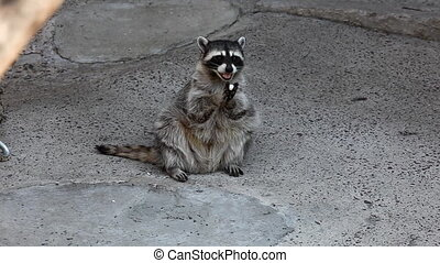 raccoon sit in shadow
