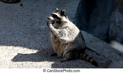 raccoon in zoo walk and feed