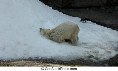 White bear play on  snow in zoo