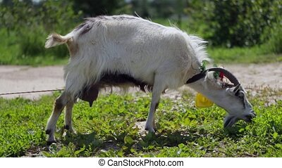 funny goat grazes on a farm eating grass, medium shot.
