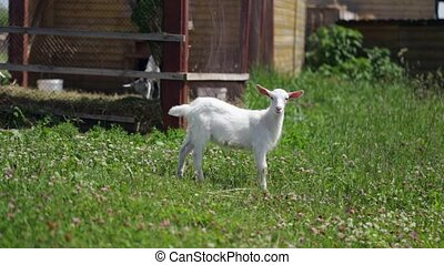 Graceful Little goat grazing in a meadow with clover, standing and looking in to
