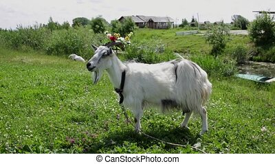 Funny Goat with a wreath on his head grazes in a field chewing on grass