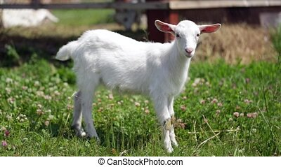 graceful young goat grazing in a meadow, looking directly into the camera