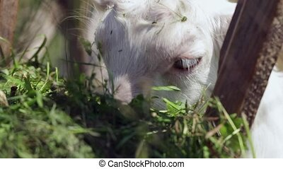 little white goat eating hay on a farm
