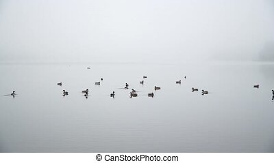 Duck lively frolic in a pond - A herd of beautiful wild...