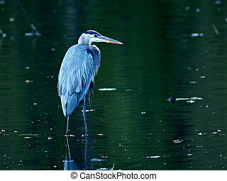 Great Blue Heron in Pond - A Great Blue Heron in a pond....