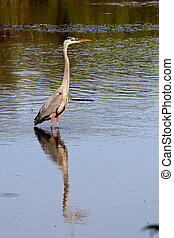 Great Blue Heron Reflecting in Pond - A Great Blue Heron...