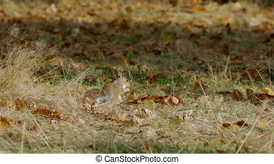Grey or Gray Squirrel (Sciurus carolinensis) feeding on...