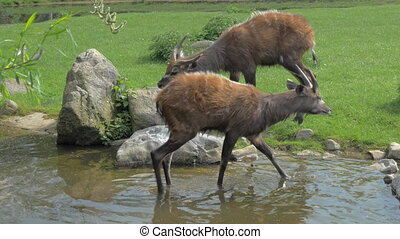 Two sitatunga by pond in the zoo or nature reserve - Two...