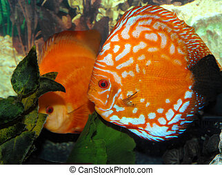 Aquarium Discus - Two orange Discus swim in an aquarium....