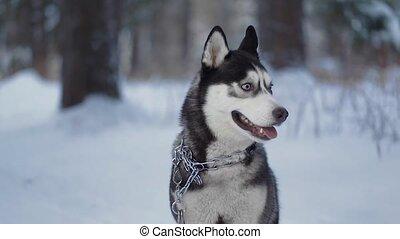 Husky dog on walk. dog looks around