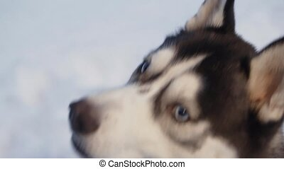 Husky dog on walk. Dog looking up and licking.
