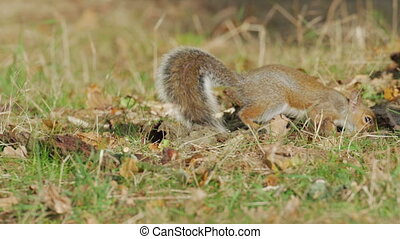 Grey or Gray Squirrel (Sciurus carolinensis) foraging for...