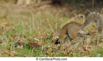 Grey or Gray Squirrel (Sciurus carolinensis) finding an...