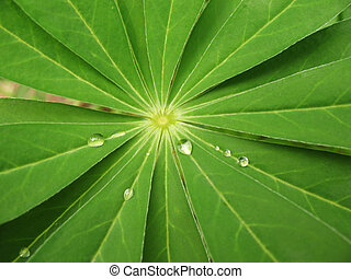 The leaves of lupine (Lupinus), family Fabaceae, with drops...