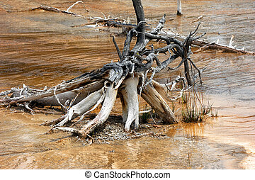 Gnarled Roots in Norris Geyser Basin - Twisted and gnarled...