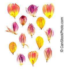 compressed dahlia petals spread out. - bright colored, dry,...
